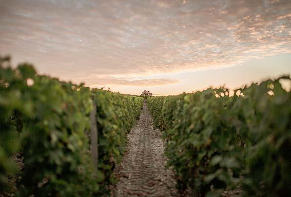 Des vignobles de Graves.